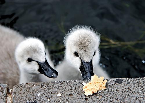 Ce sont deux bébés cygnes qui testent le marché avec prudence. Dans ce cas, la qualité du pain fourni par l'homme. :)