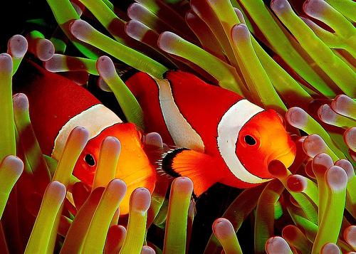 Alors le papa est à gauche et Nemo est à droite...