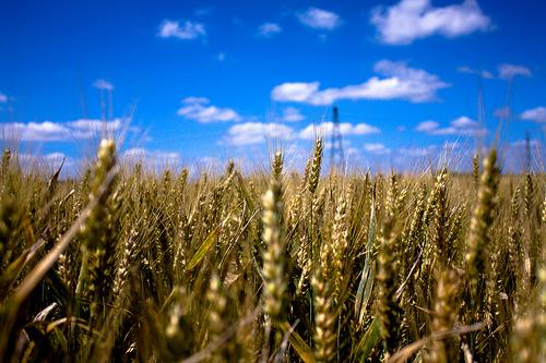 Avez-vous déjà couru dans un champ de blé ? C'est quelque chose d'unique ! Attention au fermier quand même...